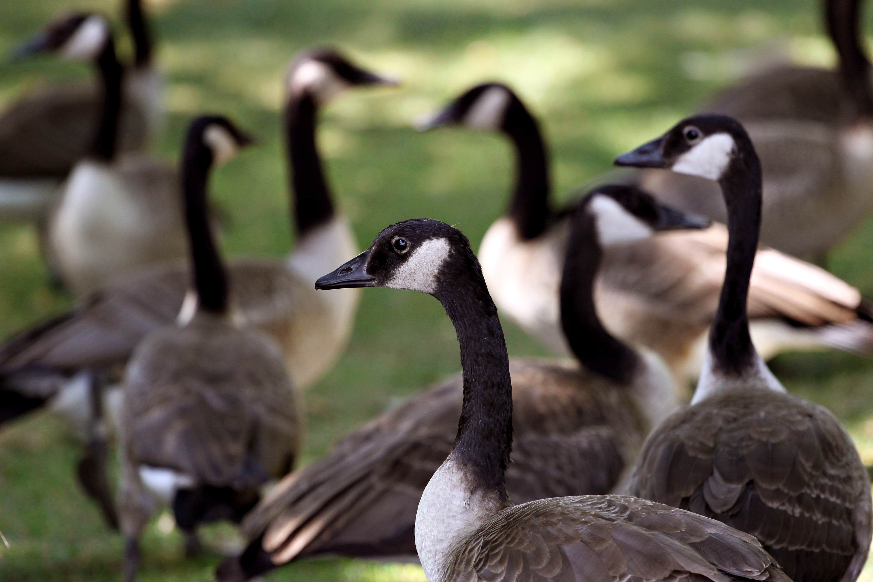 Canada Goose down replica authentic - Naturalist Services - Parks and Open Space - Public Works - City ...